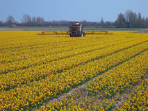 Tulips. Field with beautiful yellow daffodils Royalty Free Stock Images
