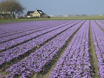 Tulips. Field with tulips in Holland Royalty Free Stock Images