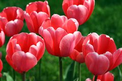 Tulips. Beautiful red tulips grow on a bed Stock Photography