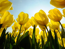 Tulips. Yellow tulips taken up against the sun Royalty Free Stock Photography