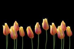 Tulips. Isolated against black background Stock Photography