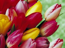 Tulips. Red and Yellow tulips over a blurred background Stock Images
