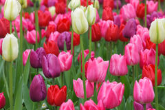 Tulips. Colorful field of beautiful tulips Royalty Free Stock Images