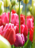 Tulips. Colorful field of beautiful tulips stock photo