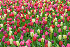 Tulips. A colorful field of beatiful tulips royalty free stock image