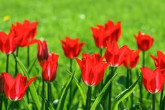 Tulips. Beautiful red tulips grow on a bed Royalty Free Stock Images