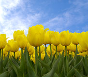 Tulips. Yellow tulips on blue sky background Royalty Free Stock Images