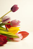 Tulips. Spring flowers on white background royalty free stock images