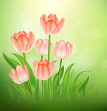 Tulips. On nature background,  illustration Stock Images