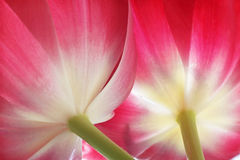 Tulips. View on two tulips from bottom Royalty Free Stock Images
