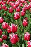 Tulips. Pink Tulips in Albany, NY Stock Images