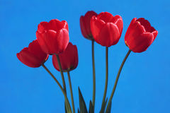 Tulips. Red tulips on a blue background Royalty Free Stock Image