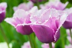 Free Tulips Stock Photos - 31150543