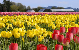 Tulips. Tulip Field in Skagit Valley, Wa Stock Photos