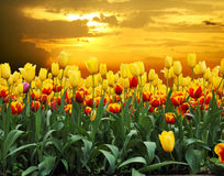 Tulips. In a field at sunset stock photo
