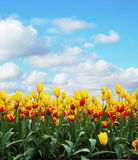Tulips. In a field against cloudy sky royalty free stock photos