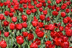 Tulips fotos de stock royalty free