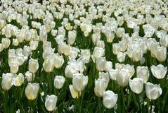 Tulips Foto de Stock Royalty Free