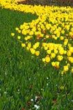Tulips Imagens de Stock
