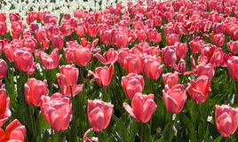 Tulips fotos de stock