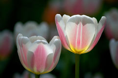 Tulips. Blooming tulips, shot at the Tulip Festival at Beijing Botanical Garden Royalty Free Stock Photos