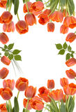 Tulips. Tulip frame with fresh tulips leaves and sun Stock Images