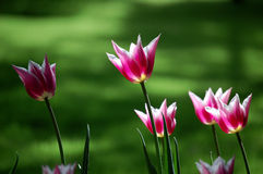 Tulips. Beautiful tulip flowers blooming under the sun Stock Photography