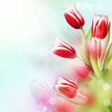 Tulips. In the colorful  backgroundwith bokeh Stock Photos