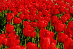 Tulips. Much red tulips on field Stock Photos