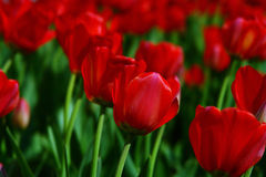 Tulips. Much red tulips on field Royalty Free Stock Image