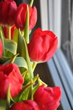 Tulips. Red tulip in window light Royalty Free Stock Photography