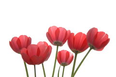 Tulips. A bunch of pink tulips back lit by natural light royalty free stock photo
