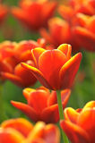 Tulips. Beautiful spring tulips in a sunny day Stock Photo