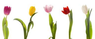 Free Tulips Royalty Free Stock Image - 4276466