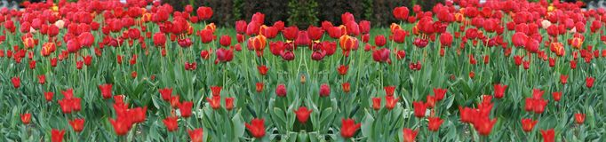 Tulips. Panorama of red tulip field Royalty Free Stock Photography