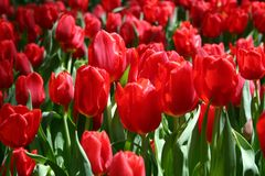 Tulips. Red Tulips, one in focus Stock Images