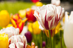 Free Tulips Royalty Free Stock Image - 47752516