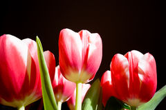 Tulips. Pink/red tulips on black background Royalty Free Stock Photography