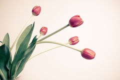 Free Tulips Royalty Free Stock Images - 48324969