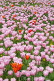 Tulips. Pink tulips in a flower bed, vertical composition Stock Photography