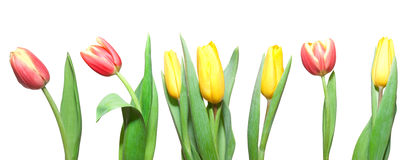 Free Tulips Stock Images - 4936344