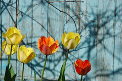 Tulips. Red and yellow fringed tulips against the background of the blue wooden fence Stock Image