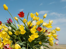 Tulips. Field tulips on background blue sky Stock Photo