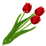 Tulips. Three red tulips on white background Stock Photography