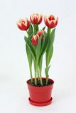 Tulips. Red and yellow Tulip flowers in a pot with white background Royalty Free Stock Photos