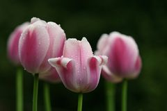 Tulips. Multiple tulips with rain drops royalty free stock image