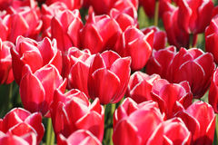 Tulips. Background with many red tulips Stock Images