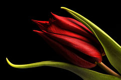 Tulips. Macro of a beautiful red tulip on black background Royalty Free Stock Photography
