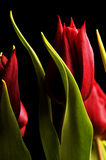 Tulips. Macro of a beautiful red tulip on black background Stock Photos