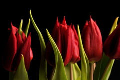 Tulips. Macro of a beautiful red tulip on black background Royalty Free Stock Photo